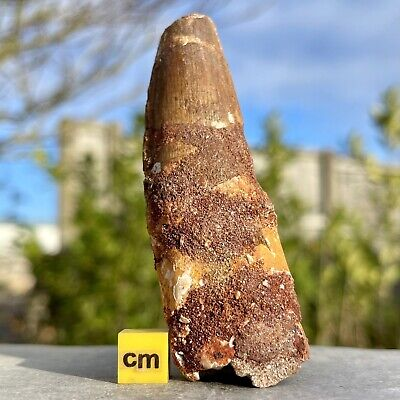 Dinosaur Tooth - Spinosaurus - found in Morocco - Cretaceous Period - FSE106