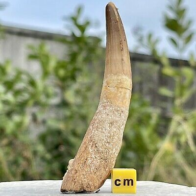 Dinosaur Tooth - Spinosaurus - found in Morocco - Cretaceous Period - FSE416