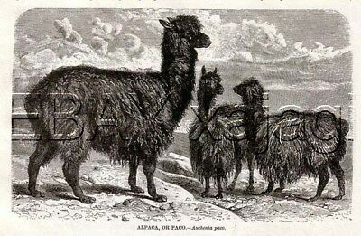 ALPACA Lovely Long Fiber, Antique 1890s Print