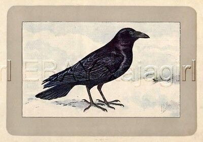 BIRD Northern Raven, Rare Antique 100-Year-Old French Bird Print-- Nice