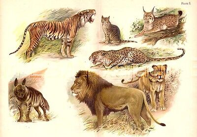 Cat, Lion, Tiger, Leopard, Hyena, Lynx, HUGE Antique Animal Print