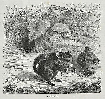 Chinchilla Pair Eating, Large 1870s Antique Print & Article