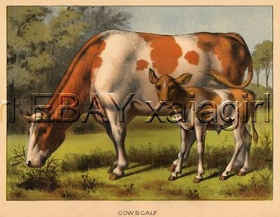 COW and Calf, Fantastic! HUGE Folio Sized 1880s Chromolith Color Print