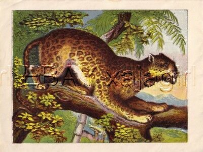 LEOPARD, Amazing & Colorful 1880s Chromolith Print