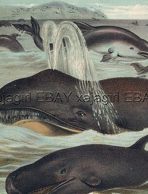 MARINE Porpoise, Dolphin, Pilot, Right Whale, Antique 1880s Chromolith Print
