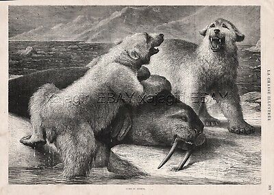 Polar Bears Vs Walrus, Contested Prize, Large 1880s Antique Print & Article
