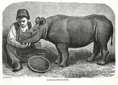 Rhinoceros Baby Calf & Zookeeper, 1860s Engraving Antique Print & Article