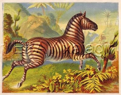 ZEBRA, Amazing & Colorful 1880s Chromolith Print