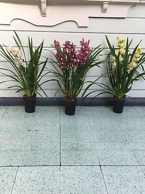 Cymbidium Orchid Plant, Minimum 3 Stems. 90cm including 16cm pot