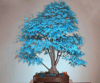 20 Tree Seads Japanes Maple Bonsai Tree Seeds for Home Garden