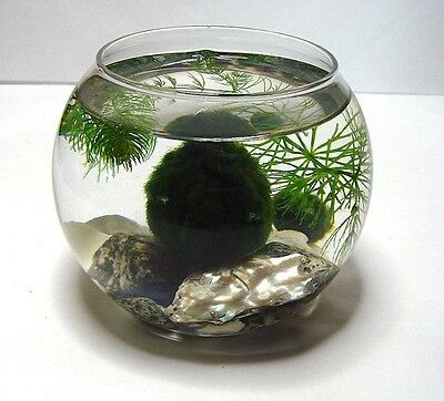 Large Marimo Moss Ball approx 6cm