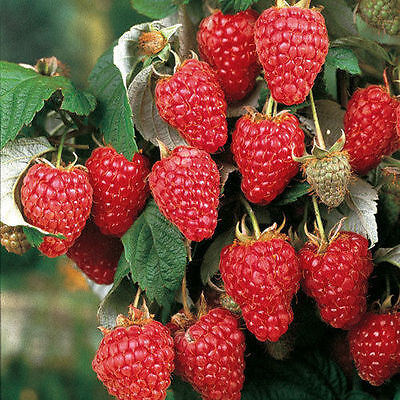 3 Autumn Bliss red raspberry plants largeberries.Everbearing zone3-8 Not Dormant