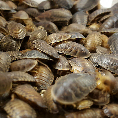 All Sizes - Dubia (Dubai) Roaches For Sale - Free & Fast Shipping