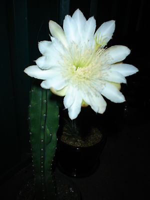 CEREUS GREEN WING-SHORT SPINE PERUVIANUS(20cm-25cm NONESTABLISHED TOPCUTspecimen