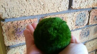 2 X  Large Marimo Moss Ball approx 6cm