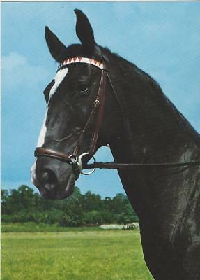 Horse Postcard - SCHONING-Vintage pose! Drop and Red and White Browband