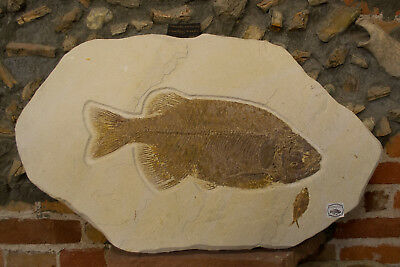 Large Phareodus Encaustus Fossil from Green River Formation Wyoming