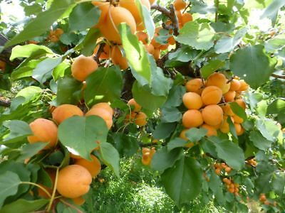 Manchurian Apricot Tree Seeds - Zones 3 - 8 Edible Fruit - 10 Seeds