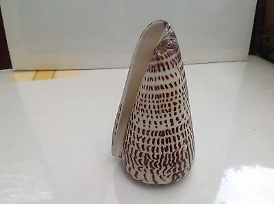 NATURAL UNPOLISHED , MARBLE CONE SEA-SHELL  9.5 cm long