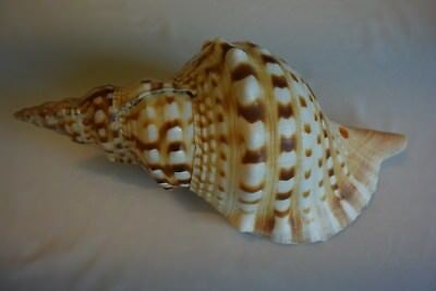 Magnifique Ancien coquillage corail old fossil shells fair models 20