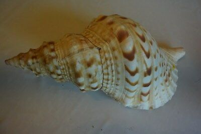 Magnifique Ancien coquillage corail old fossil shells fair models 21 XIX