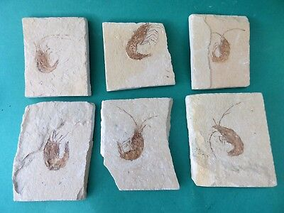 Excellent Quality Fossil shrimp x 1 from group. 95 m.y.o. Free Display Stand