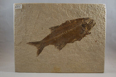 Eohioden Falcatus Fossil from Green River Formation Wyoming