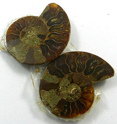 9.64 GM Charming 1 Pair NATURAL AMMONITE FOSSIL 24x30MM Loose Gemstone