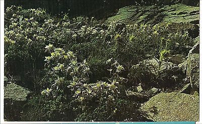 COLUMBINE State Flower Snow Capped Mountains Golden Summer COLORADO Postcard CO