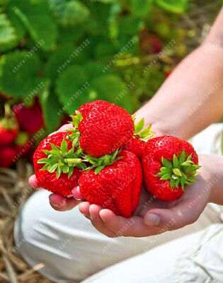 *NEW* Giant Strawberry Seeds largest Fruit 500 PIECES