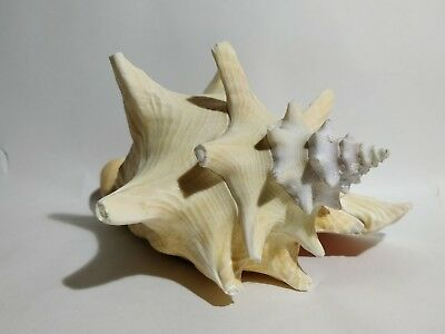 Large shell conch shell beautiful decorative collectable seashell Vintage 2 of 3