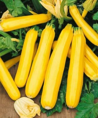40 Golden Zucchini Summer Squash Seeds-Open Pollinated-NON GMO-Organic