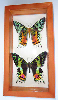 "2 Real Madagascar Sunset Moth Urania Ripheus  4.5""x8.5""inches Double Glass"