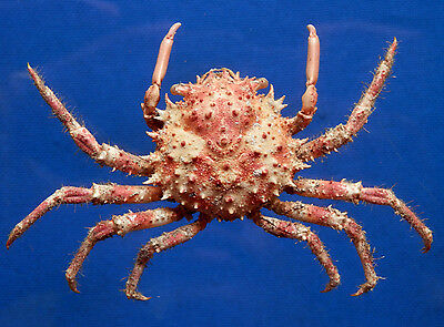04814 Crab Taxidermy - Schizophrys aspera, 26.9 mm