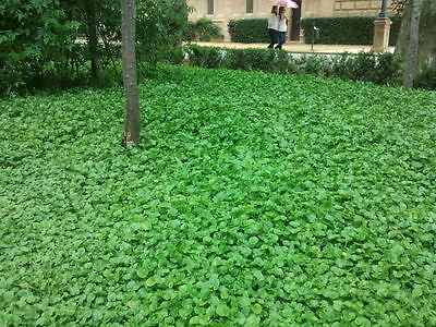 500 graines GAZON CALIFORNIEN SANS TONTE(Dichondra Repens)G827 KIDNEY WEED SEEDS