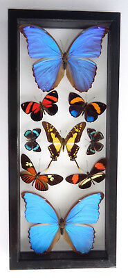 "9 Real Framed Butterflies Double Glass In A Black Frame 15.5""x6.5"" Amazing"