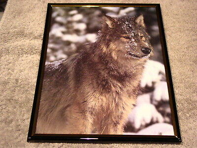 WOLF 8X10 FRAMED PICTURE #6 ( poster )