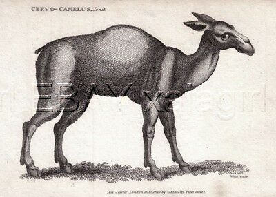CAMEL Dromedary, Very Rare 1803 Antique Engraving Print (200+ Years Old)