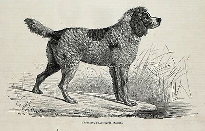 Dog English Water Spaniel (Extinct), 1870s Antique Engraving Print & Article