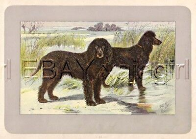 DOG Irish Water Spaniel, Rare Antique 100-Year-Old French Dog Print