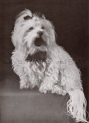 DOG Maltese Lion Dog Breed Study, Vintage Print 1930s