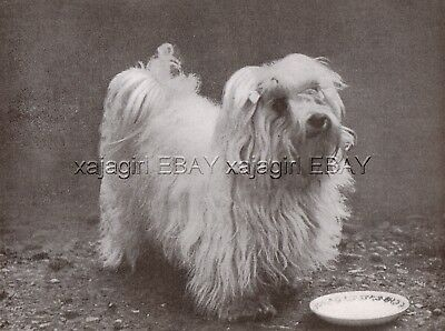 DOG Maltese Lion Dog Champion (Named) Portrait, Vintage Print 1930s