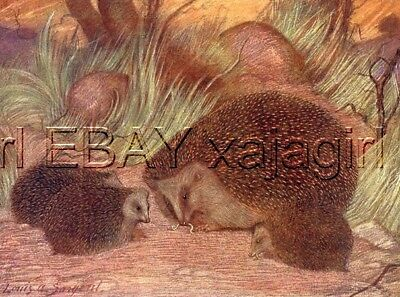 Hedgehog 100+ Yr-old Antique Print by Louis Sargent