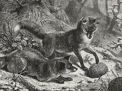 Hedgehog Vs. Fox Puppies in Forest, Large 1870s Antique Engraving Print