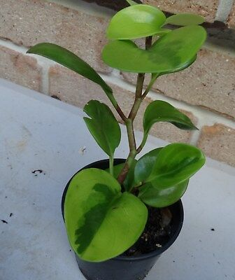 Peperomia 'Lime Green'         Plant