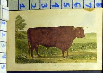 1863 Usda Devon Bull Farm Country Cow Ranch Texas Antique Wood Print  An23