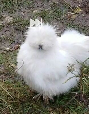 8 SOP and Designer Silkie hatching eggs. Npip.