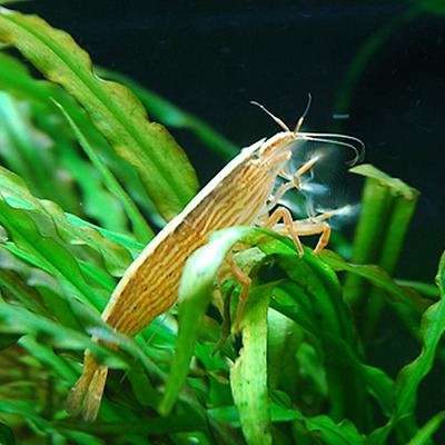 Live Tropical Aquarium Shrimp for Sale - Atyopsis Bamboo Shrimp - Bundle 2 - 20