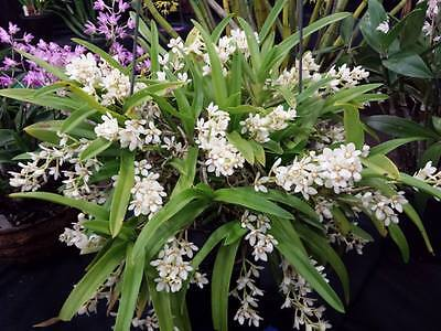 THG NEW RELEASE Orchid SARCOCHILUS aequalis 'Col Amos Alba' x self SEEDLING