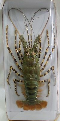 Spiny Lobster #2 Taxidermy Beautiful Condition in Display Box Rock Ocean Life